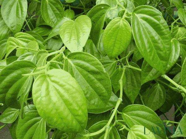 Chữa ngứa vùng kín bằng lá trầu không và phèn chua